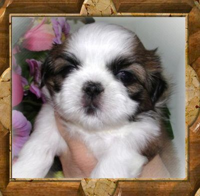 Princess Leia - Thank You Norma F. of Pa. This is Normas 2nd TwaNas ShihTzu!!!