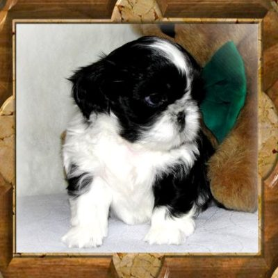 Baby Sundae - Thank You John S. Of California, John has purchased 3 TwaNas Shih Tzu...!!!