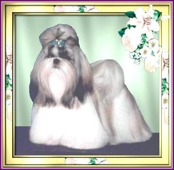 Ch. Pe-Kae's Pretty Persuasion Ch. Pe-Kae's Yuppie Pup P. X Ch.Pe-Kae's Pretty Portrait  Completed her championship at 11 months 3 days.