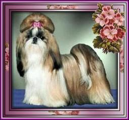 Ch.Pe-Kae's Tickled Pink CHAMPION PRODUCER Ch. Bar-Lar's Hot Wheels Pe-Kae X Ch. Pe-Kae's Pretty in Pink