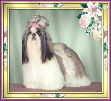 Ch. Jomiko's Vanessa at Pe-Kae Ch. Bar-Lar' Ming Dynasty Trouble X Jomiko's Mad about You