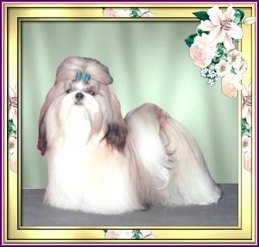 Ch.Pe-Kae's Yuppie Pup P Champion Producer