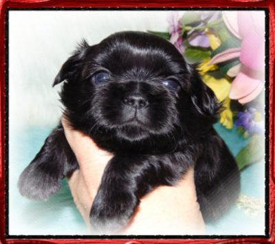 Available Male Shih Tzu Puppies Oh Twanas P K Shih Tzu