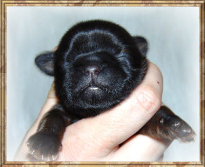 Shih Tzu Puppies Females Ohio Twanas P K Shih Tzu