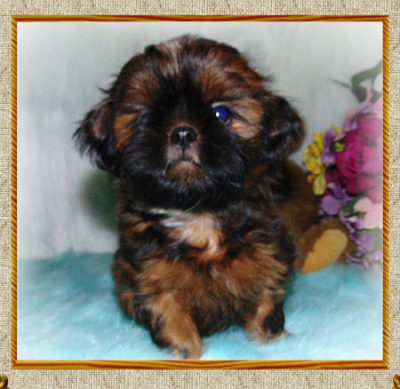 Available Male Shih-Tzu Puppies OH | Twana's P-K Shih-Tzu